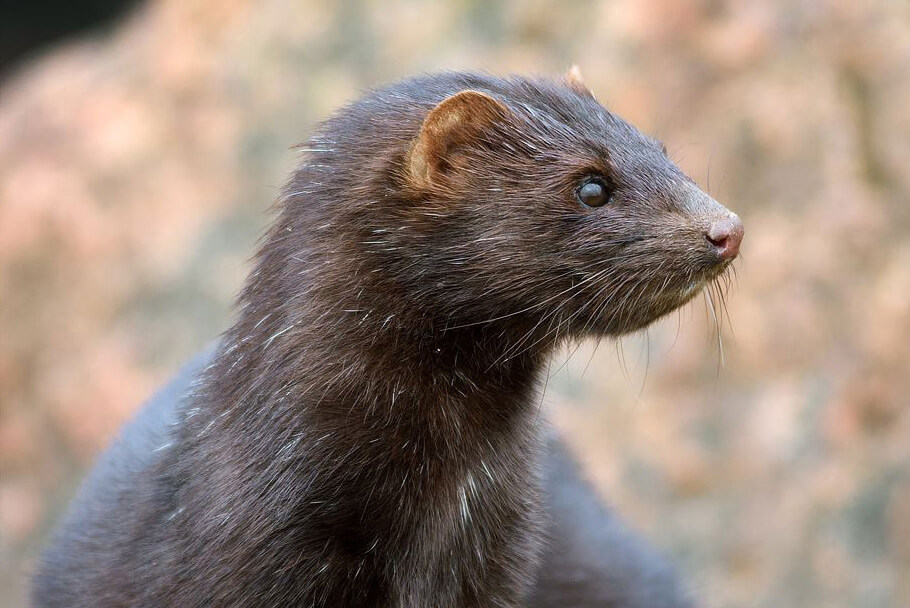 an animal called a Mink